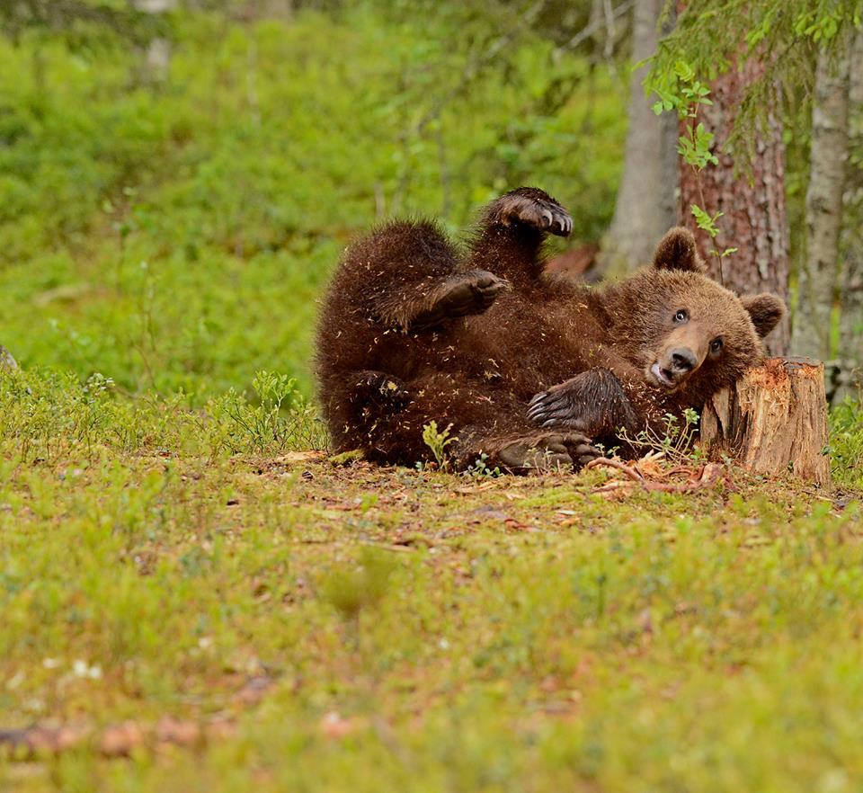 Late dager i bjørneland