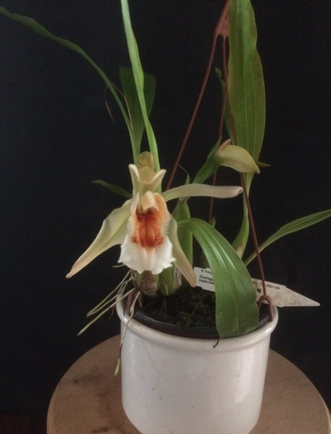 Coelogyne Lime Bay , Leif.PNG