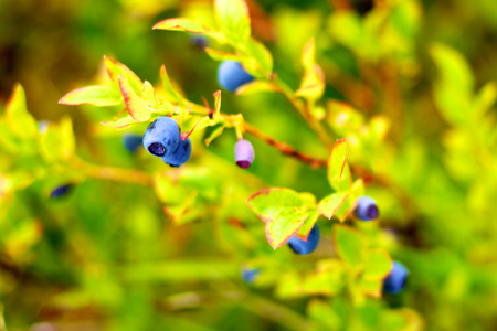 no er det blåbærtid – de er gratis.jpg