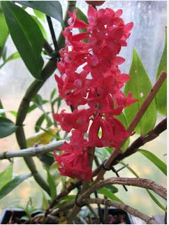 En av fordelene ved å være medlem i Norsk Orkideforening er å få tilbud av orkideer. I tillegg til importer, selges orkideer du sjelden får kjøpt her hjemme til gode priser.