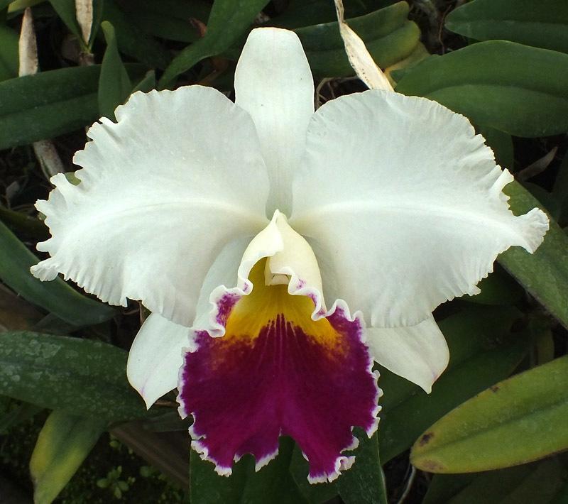 Cattleya Orglade`s Grand.jpg