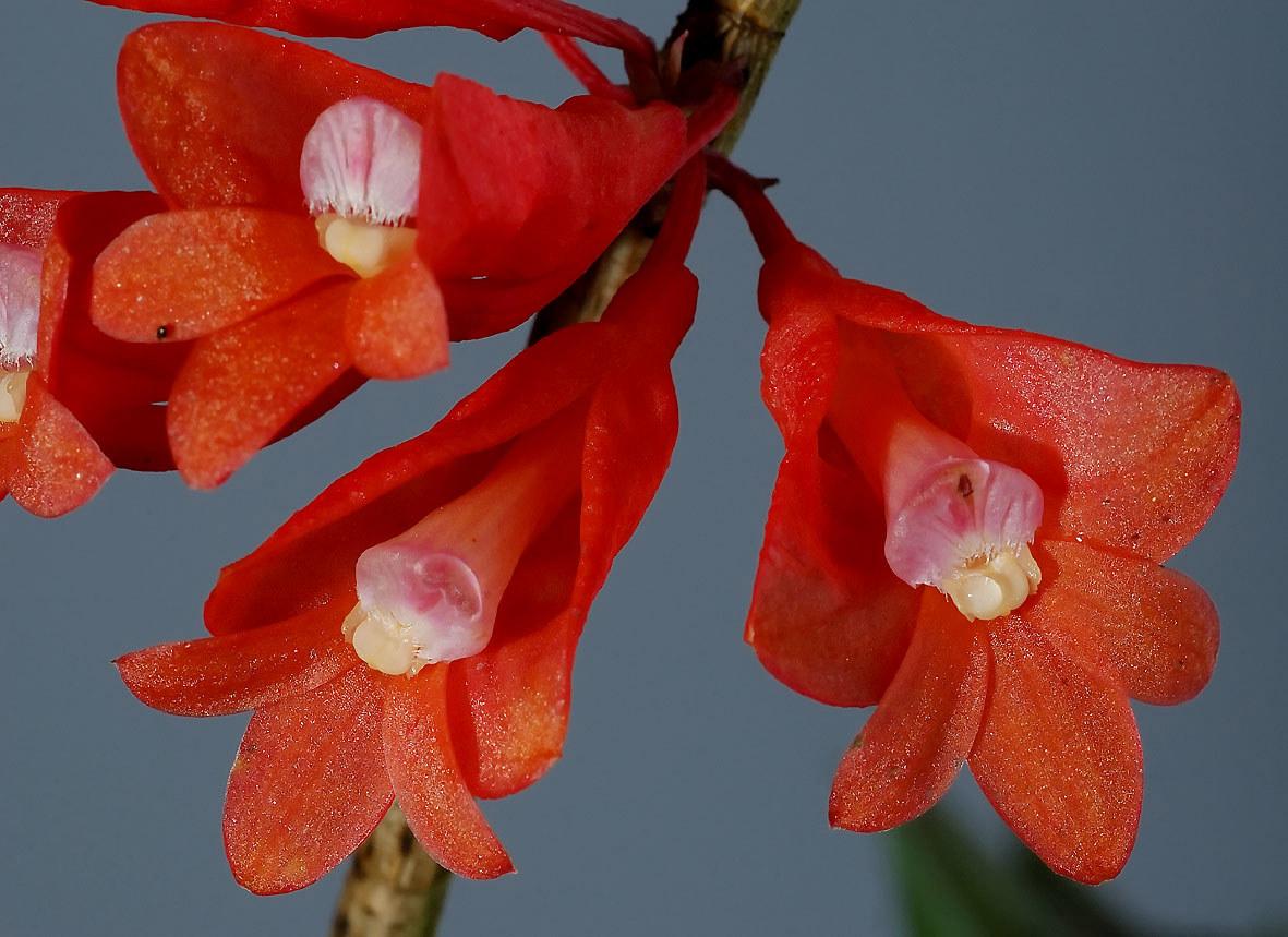 Dendrobium lawesii.jpg