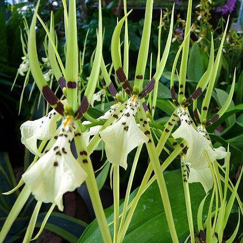 brassia-nanboh-breeze-orchidee-orchid.jpg