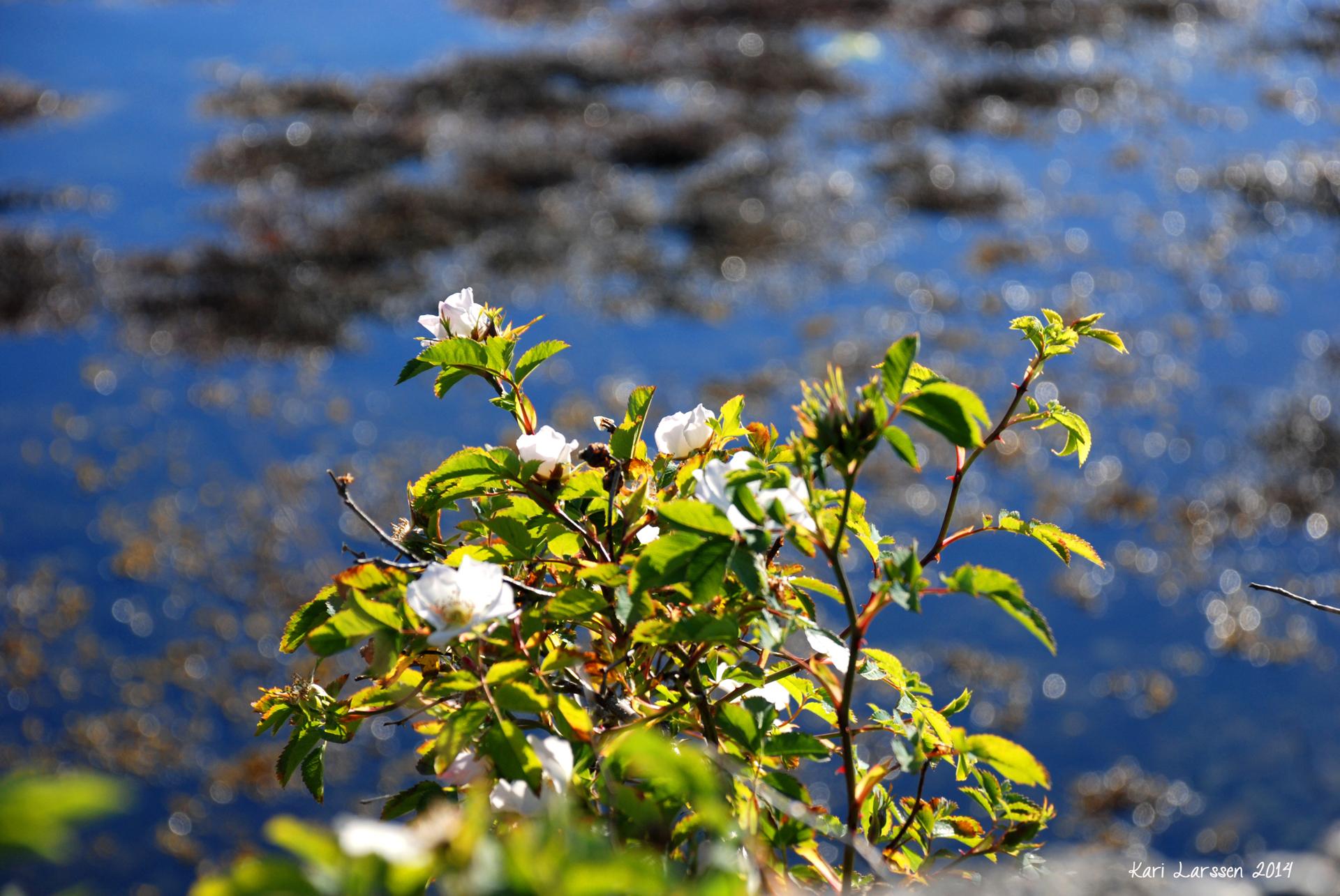 svartesjøen 1.jpg
