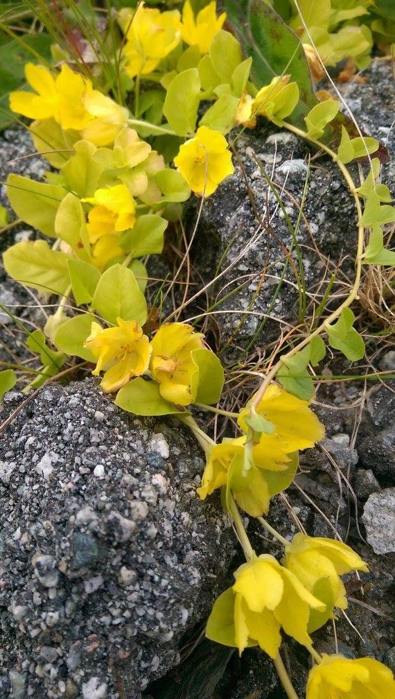 Gul strandplante - ukjent navn.jpg