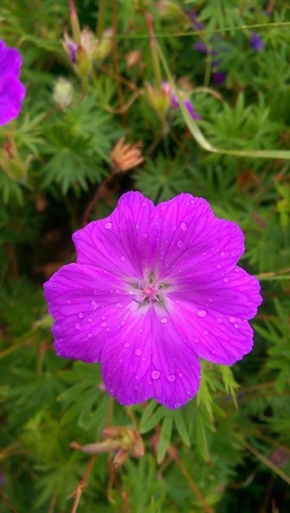 Flora på Espevær
