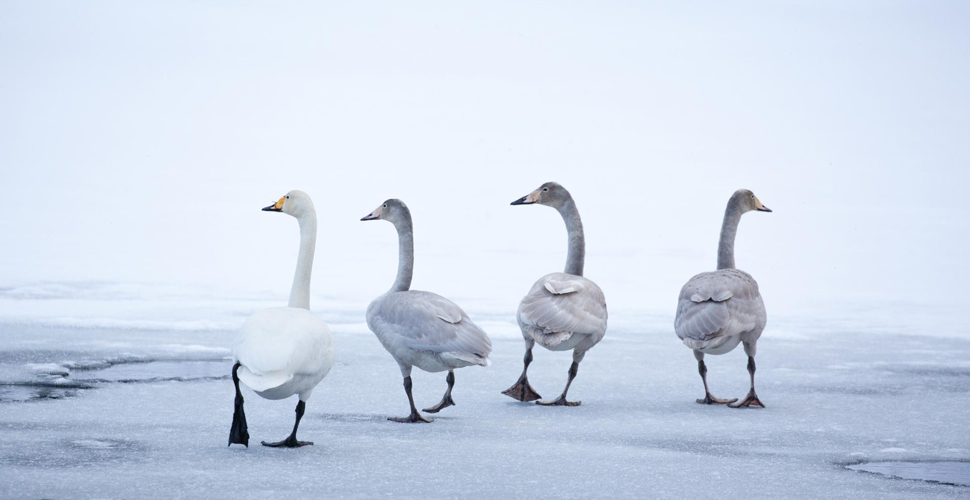 2020-06-Third-Swans_on_ice_1-Bjarte_Hoff.jpg