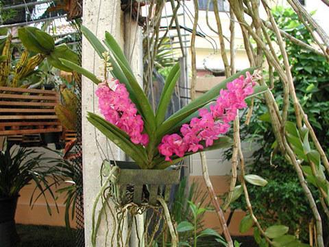 ascocenda-relax-blossom-s-1-.jpg