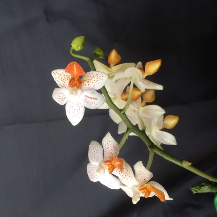 Eksempler på orkideer som kan bestilles via importen