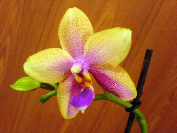 Phalaenopsis-Biondoro.jpg