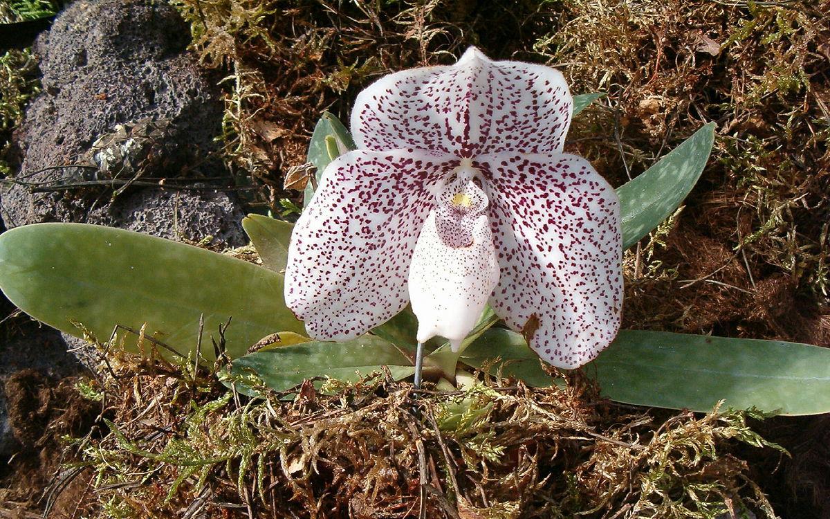 1200px-Paphiopedilum_godefroyae_OrchidsBln0906a.jp