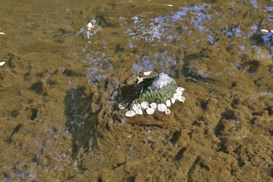 Det er svært kraftig, uappetittelig algevekst i elvebunnen av Øverlandselva (og våre andre elver også)