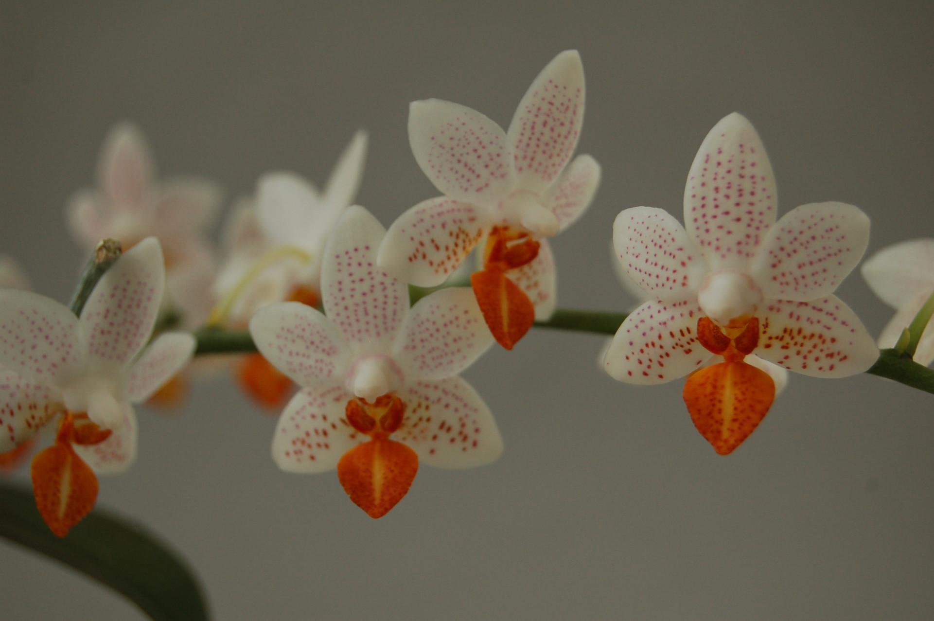 phalaenopsis_minimark_1.jpg