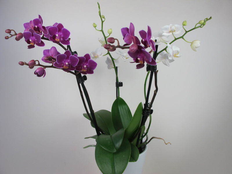 doritaenopsis_confetti.jpg