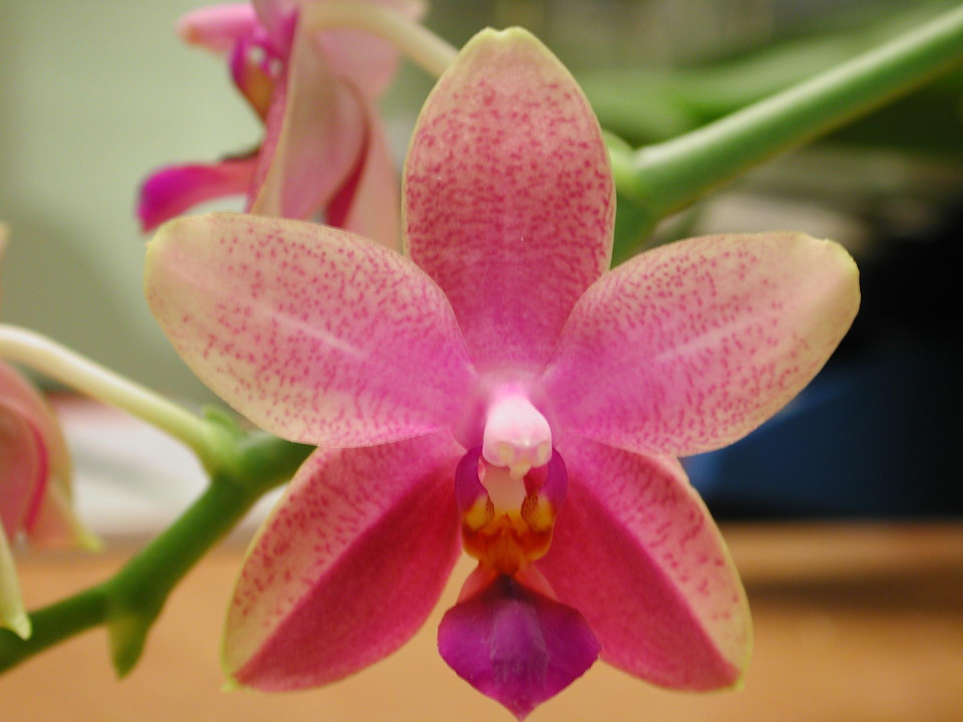phalaenopsis_liodoro_1.jpg